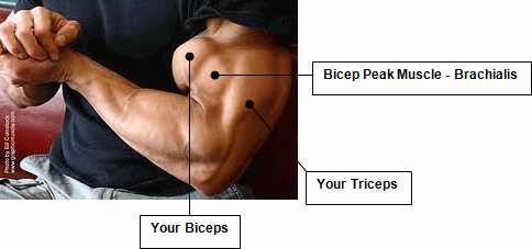 brachialis-bicep-peak